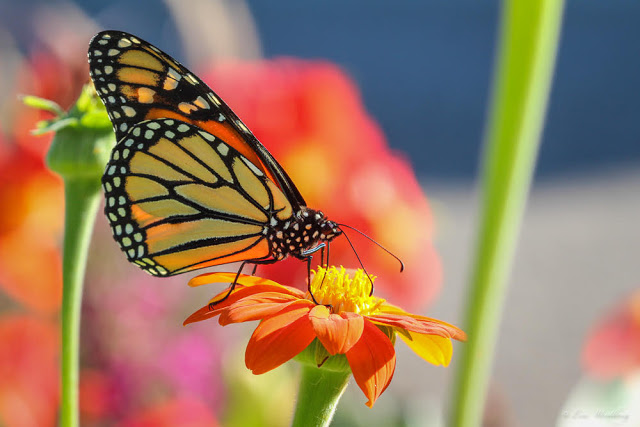 Photo showing a monarch butterfly drinking nectar from an orange and yellow flower. Yellow stems can be seen in the background, along with the blue sky and pink accents, out of focus.